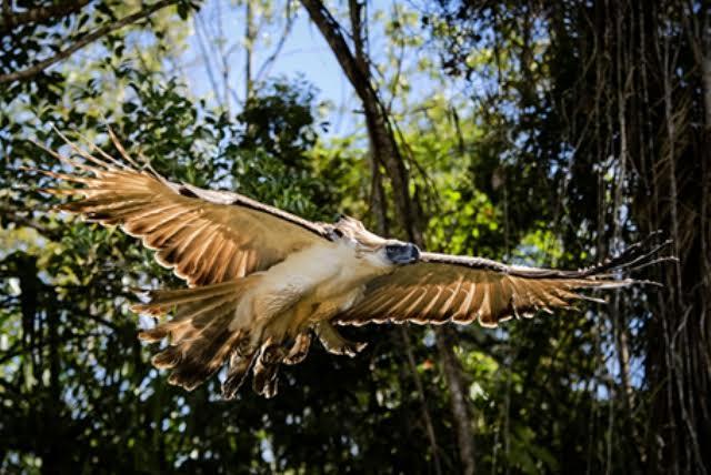 pamana-eagle