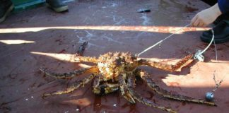 Alaska King Crab Total Information in 2020
